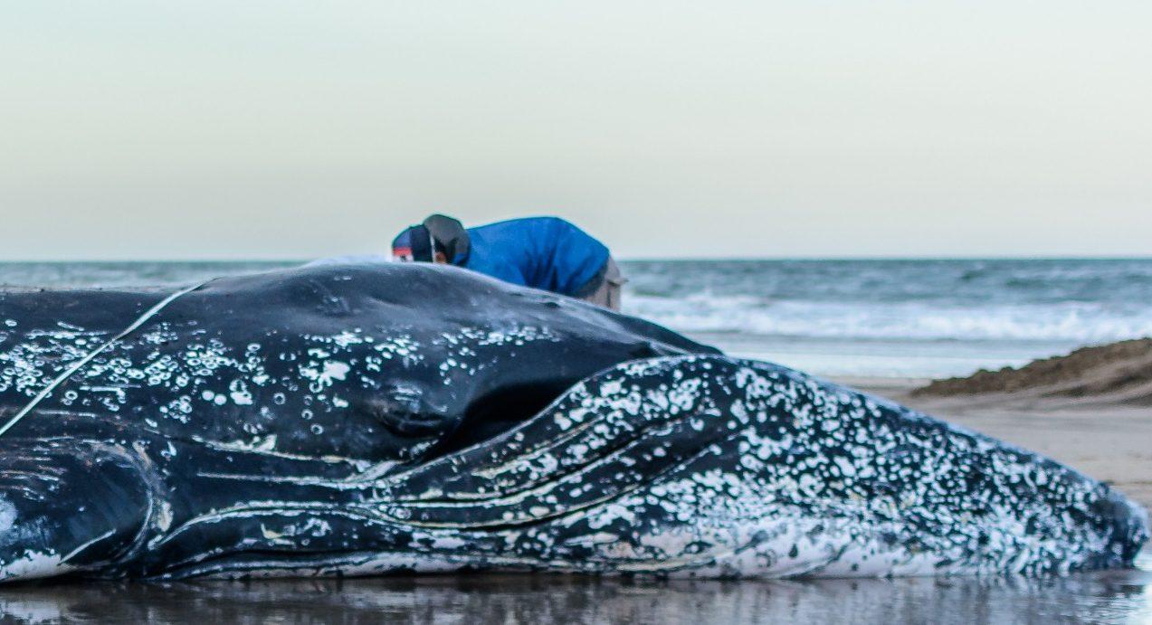 Sobre El Varamiento Y Muerte De La Ballena En Mar Del Plata